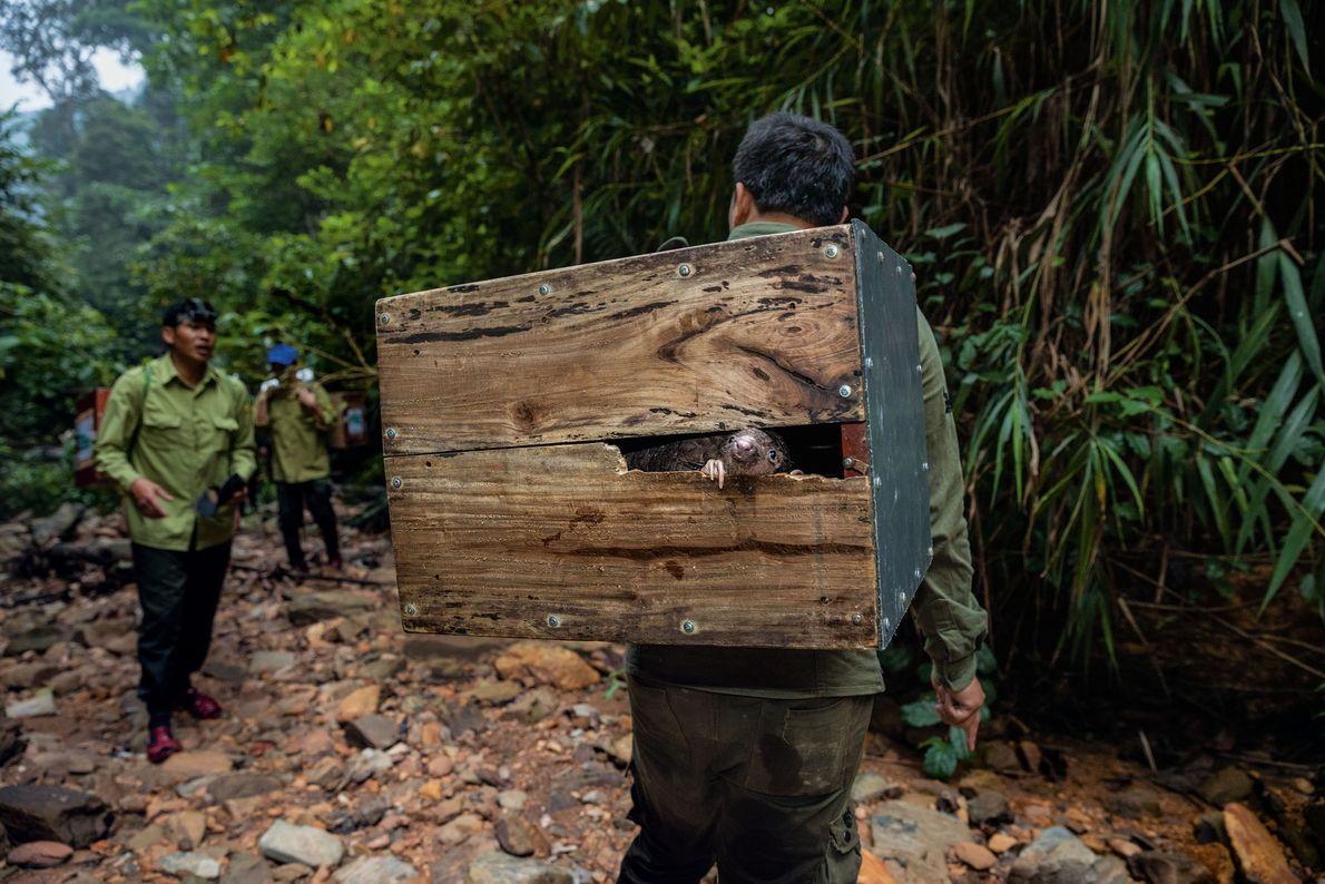 Un pangolin jette un œil sur le monde depuis la boîte qui le transporte au sommet ...