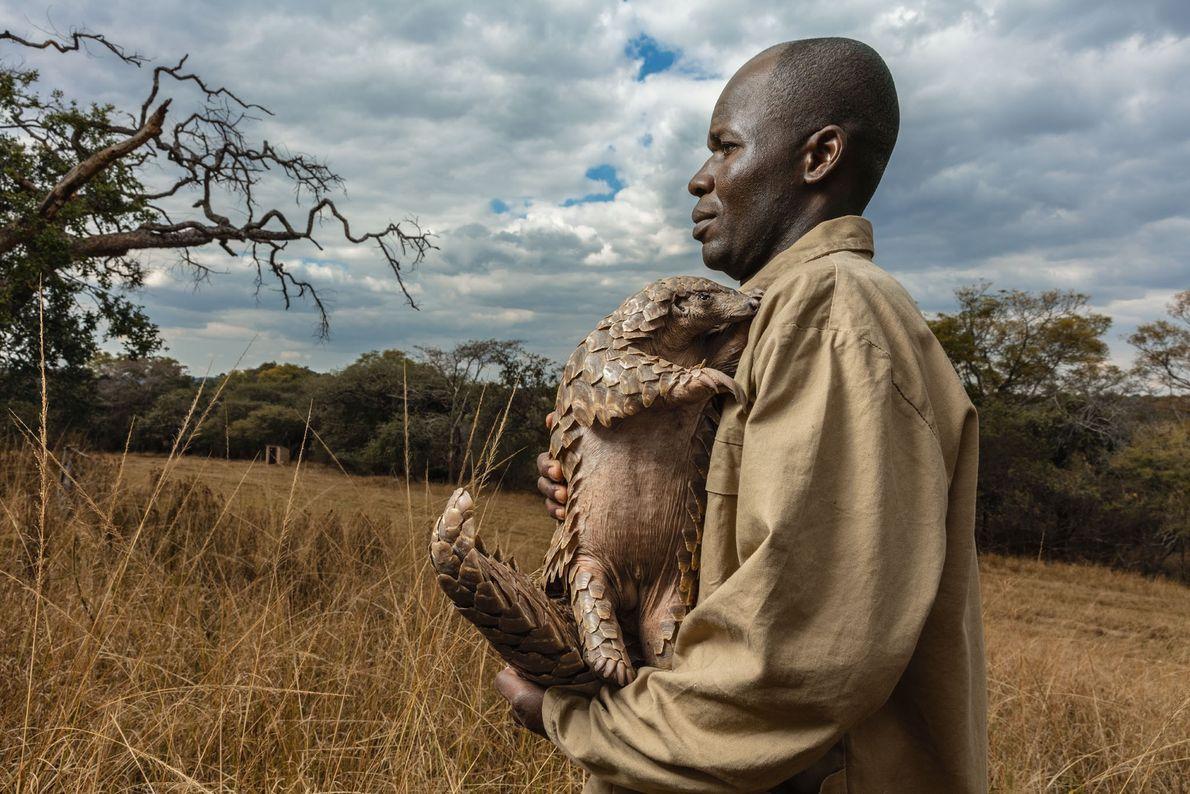 Au Zimbabwe, chaque pangolin secouru par la Tikki Hywood Foundation (comme Tamuda ci-dessus) se voit attribuer ...