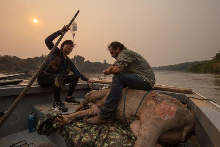 Les volontaires Antônio Carlos Csermak Jr. et Amanda Yumi surveillent un tapir du Brésil brûlé, secouru ...
