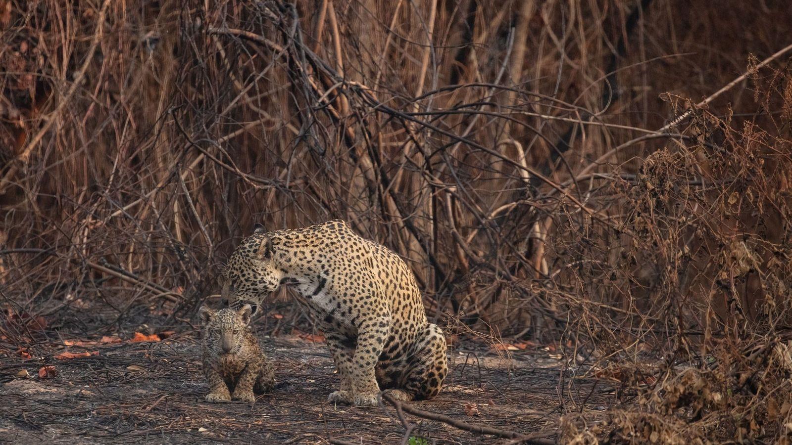 Une mère jaguar et son petit se réfugient tant bien que mal au creux de la ...