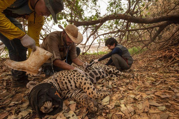 Une équipe de vétérinaires volontaires capture un jaguar blessé pendant les incendies de Porto Jofre, au ...