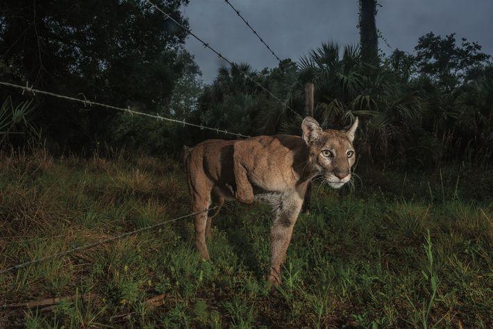 Venue d'un ranch voisin, une panthère passe une clôture du Corkscrew Swamp Sanctuary, un marais protégé, ...