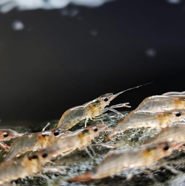Certaines crevettes peuvent marcher jusqu'à sur 20 mètres avant de se remettre à l'eau.