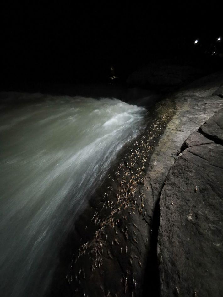 Défilé de crevettes le long des rapides de Lamduan, un événement annuel qui se produit entre ...