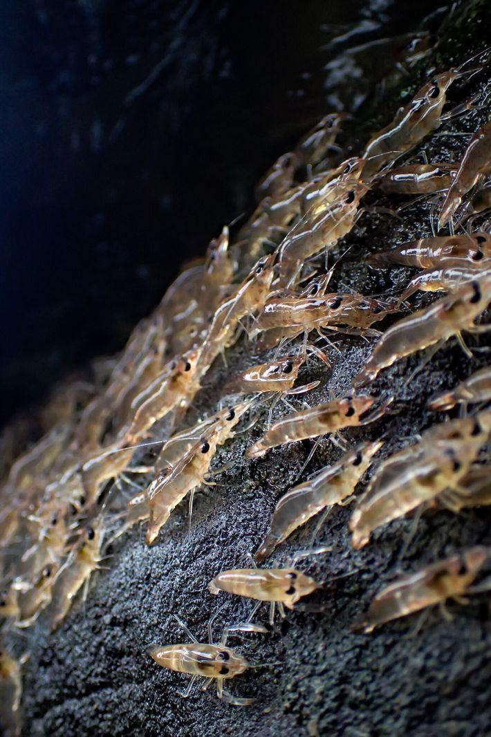 Les minuscules crevettes sont extrêmement vulnérables aux prédateurs pendant leurs marches nocturnes.