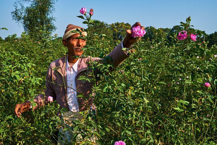 Les roses de Damas sont récoltées chaque jour par des mains expertes dans la campagne environnante ...