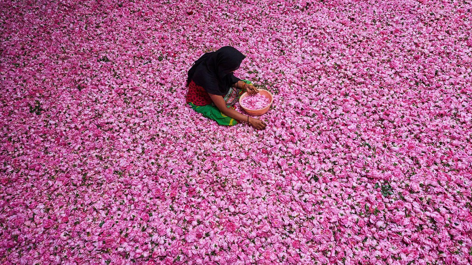 Une jeune femme arrache les pétales d'un tas de roses dans un centre de tri situé ...