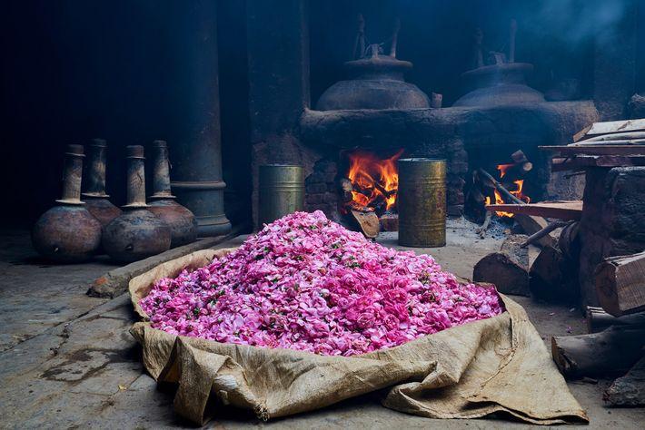 Parmi les alambics et les cuves en cuivre, des roses fraîchement cueillies attendent d'être transformées en ...