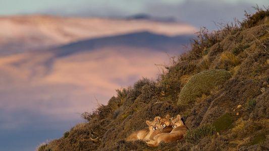 Reportage : les pumas de Patagonie