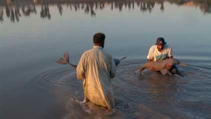 Au Pakistan, la population de dauphins du Gange repart à la hausse