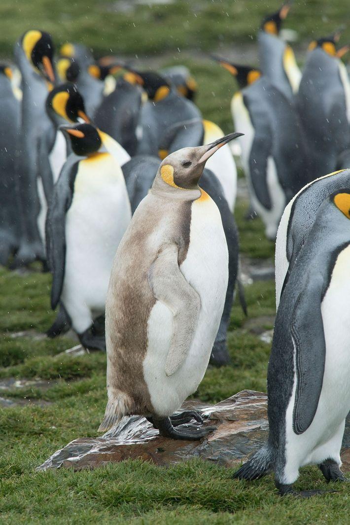 penguin-maurtizen