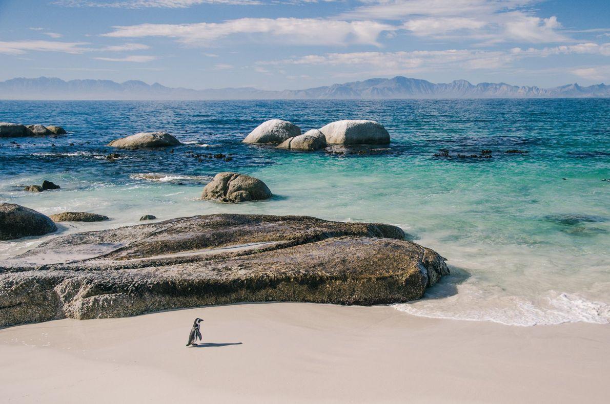 Un manchot du Cap s'aventure en solitaire sur Boulders Beach, une plage de la péninsule africaine ...