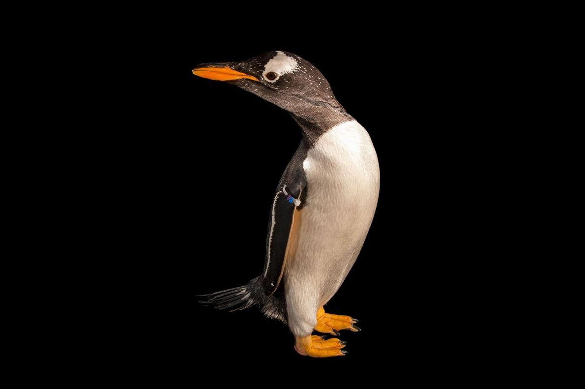 12 portraits révélant la grande personnalité des pingouins