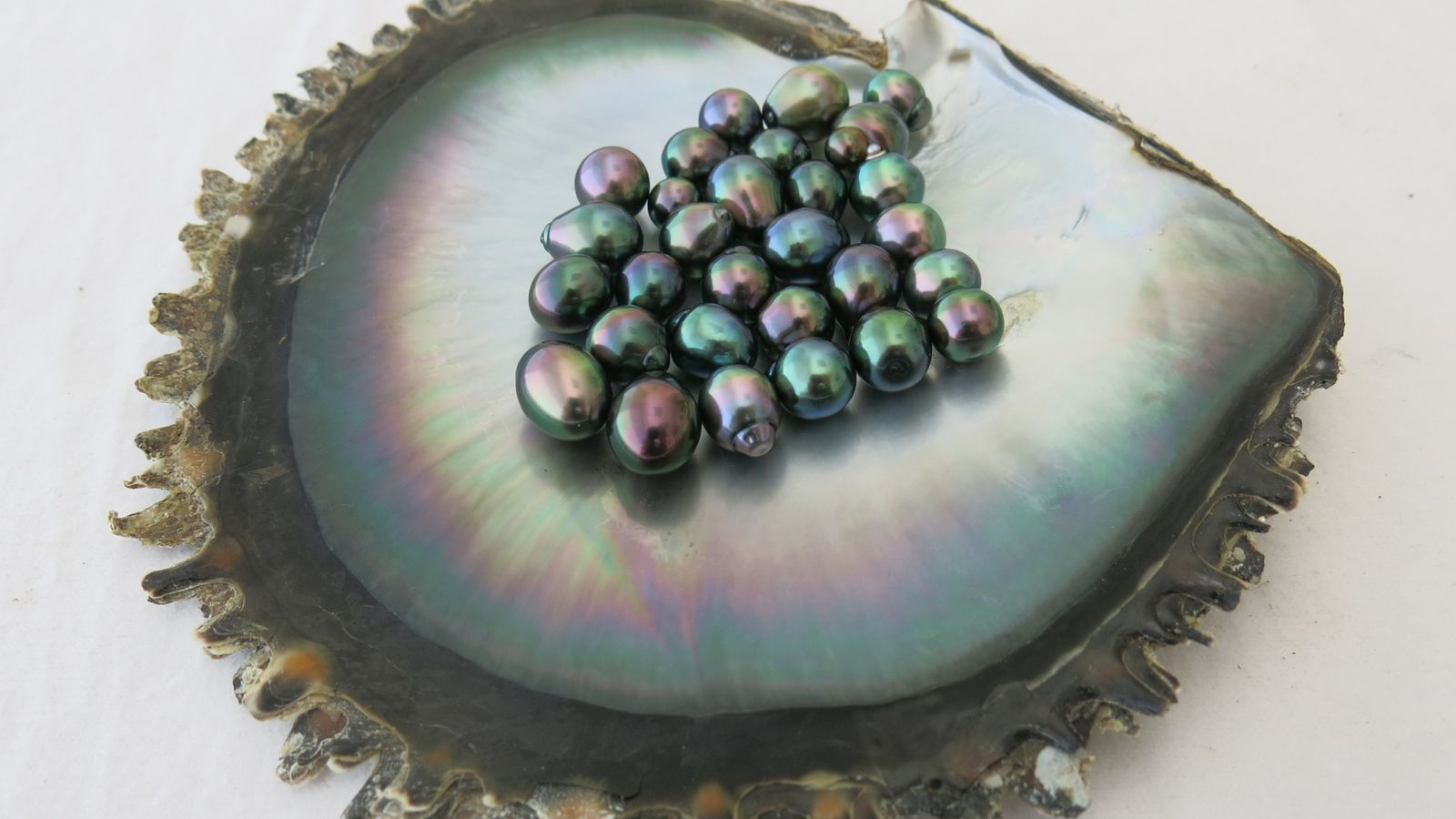 Pinctada margaritifera est l'huître perlière polynésienne dont certains individus sont sélectionnés pour la production de perles ...