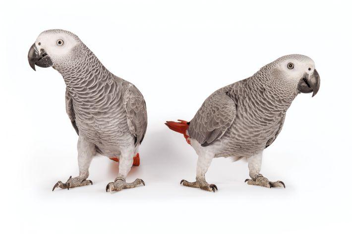 Les perroquets jacos apprennent à parler un peu comme nos bébés, utilisant leur langue pour reproduire ...