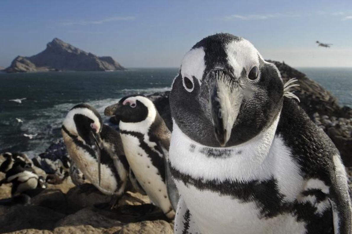 Un manchot du Cap se hisse sur une falaise en Namibie. L'Île de Mercury est une ...