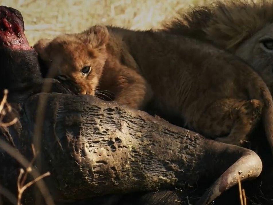 Ce petit lion rêve de devenir un grand chasseur
