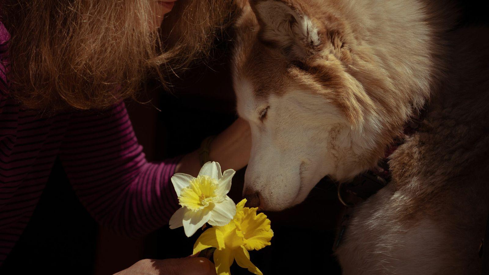 Sur ce cliché pris le 20 avril 2020 dans le Massachusetts, Casey, un chien de thérapie se laisse ...