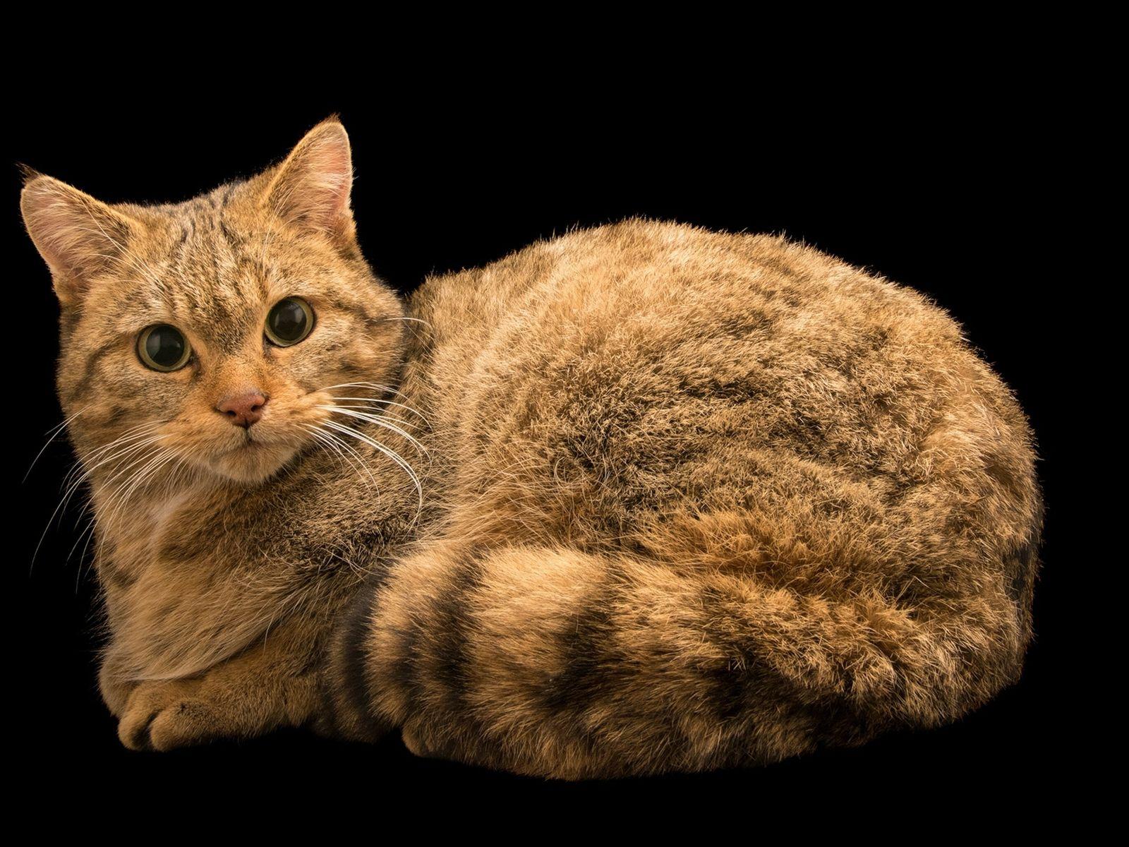 photo-ark-european-wildcat2501892