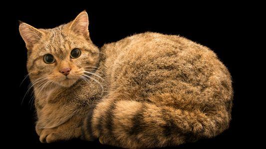 Les restes d'un mystérieux ancêtre du chat domestique découverts en Pologne
