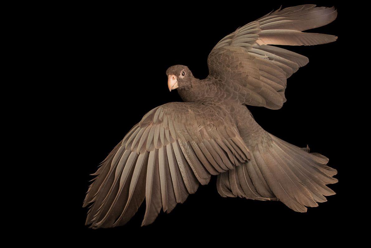 Avec leur plumage sombre, les perroquets vasa vivent une vie amoureuse trépidante: les femelles poursuivent et ...