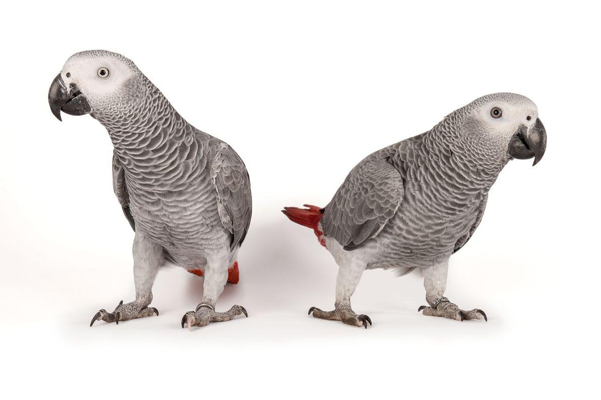 Les perroquets gris du Gabon apprennent à parler comme le font les enfants, en utilisant leur ...