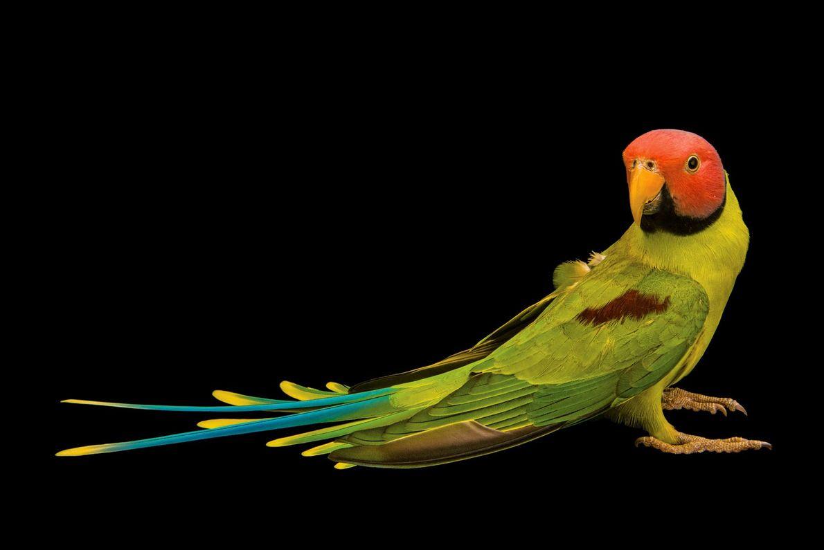 Avec ses joues rosées et son chant mélodieux, la perruche à tête rose est un animal ...