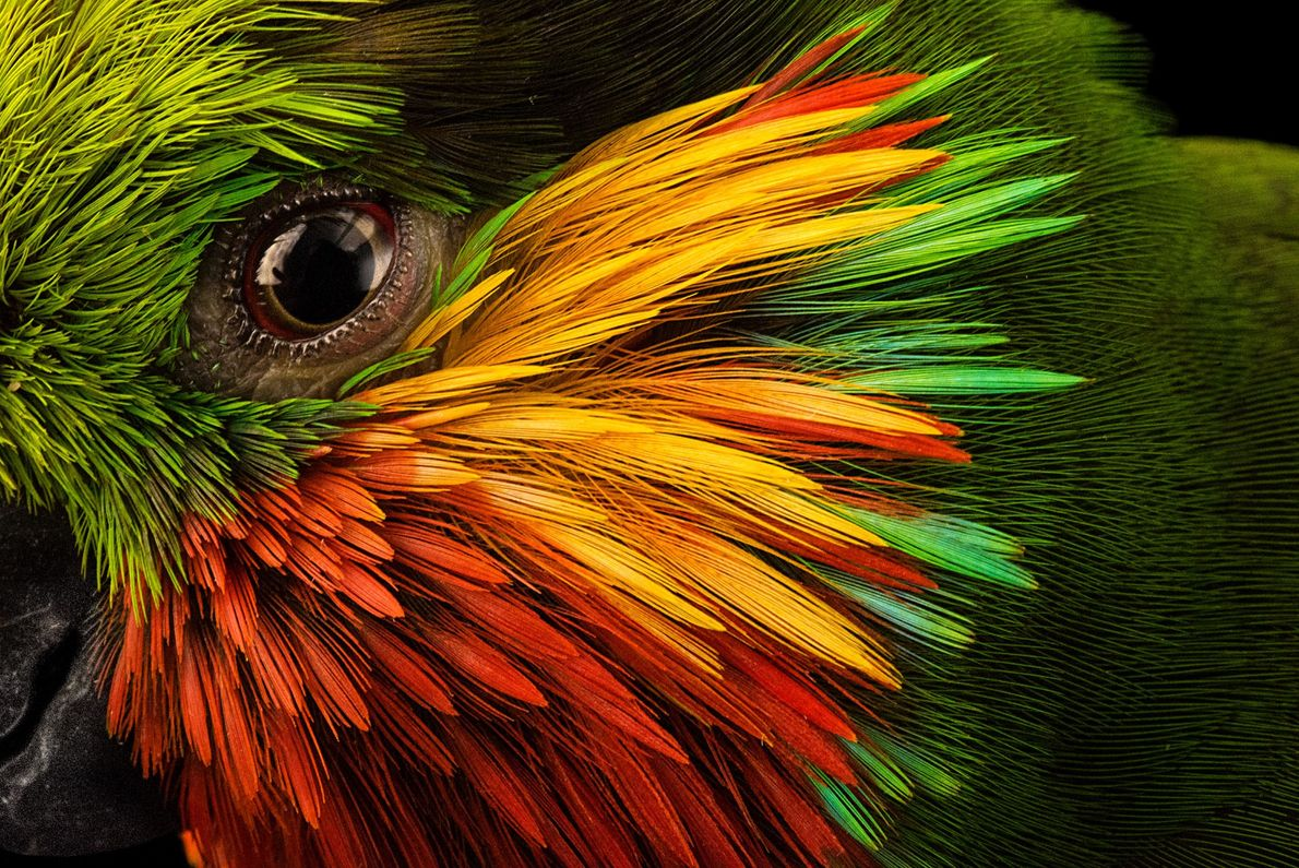 Telles des coups de pinceau, des plumes de couleur vive encadrent l'œil de ce psittacule d'Edwards, ...