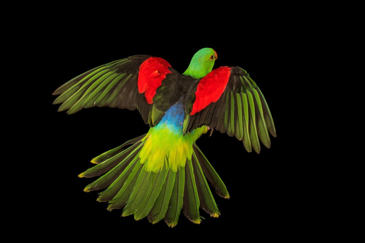À nos yeux, les perruches érythroptères mâles d'Australie, d'Indonésie et de Papouasie-Nouvelle-Guinée arborent déjà des couleurs ...