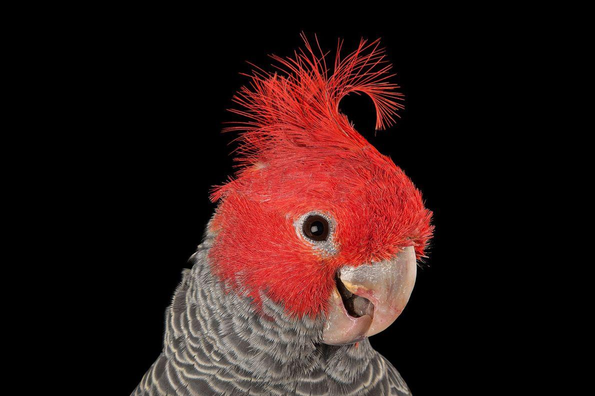 Le cacatoès à tête rouge, ou cacatoès gang-gang, est l'une des 20espèces de cacatoès, dont la ...