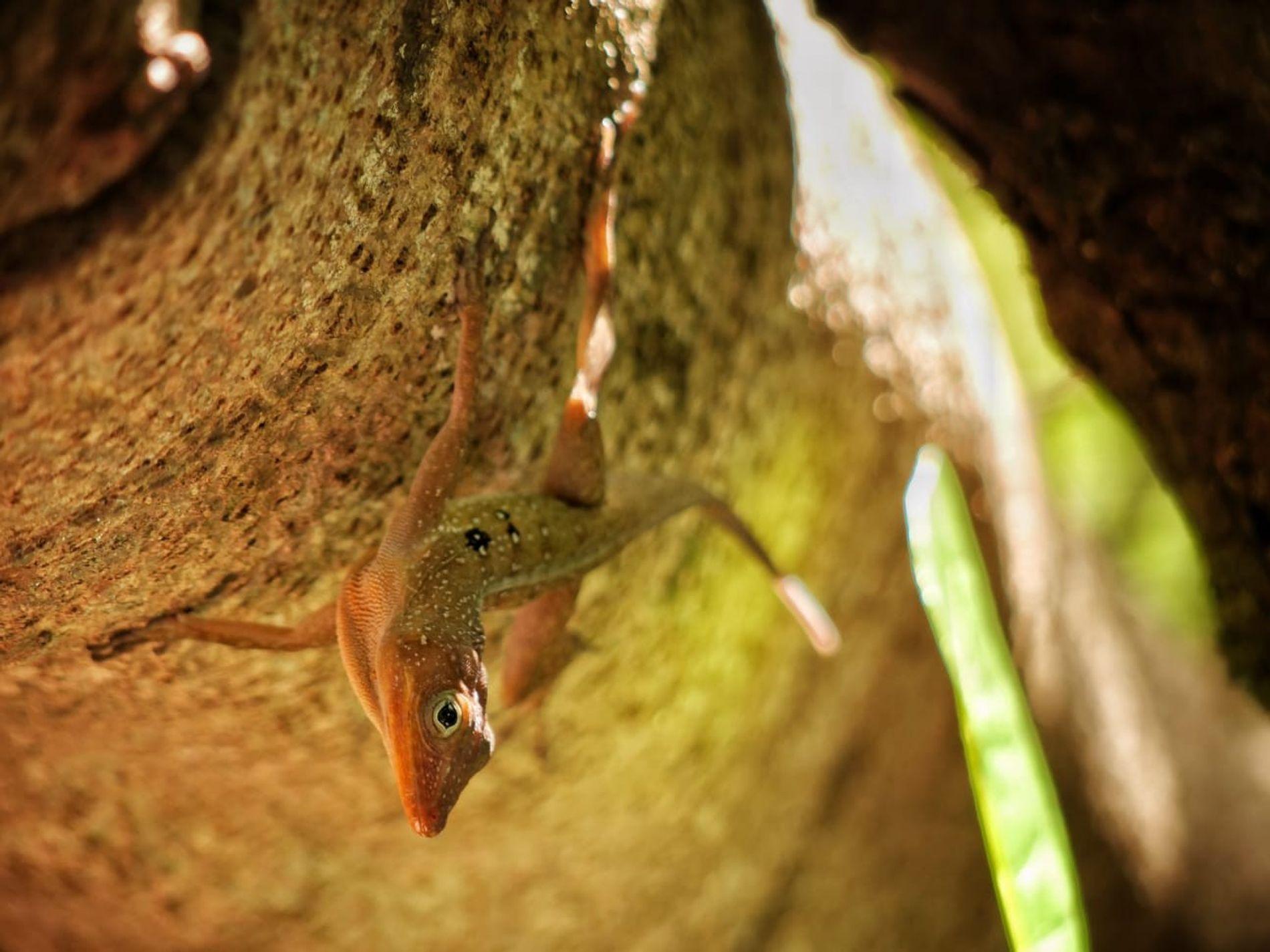 L'Anolis oculatus, lézard endémique de l'île Dominique, cohabite avec une autre espèce d'anoles intrusive, l'Anolis cristatellus. ...