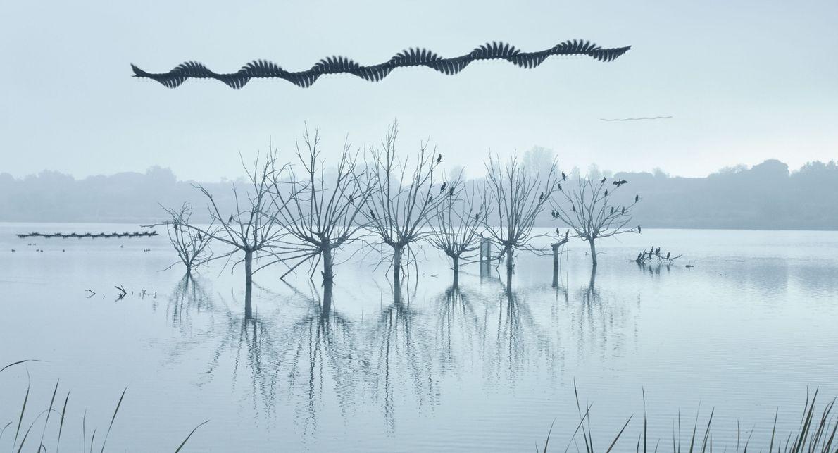 Tel un serpent céleste, des busards des roseaux ondulent au-dessus d'arbres où sont perchés des grands ...