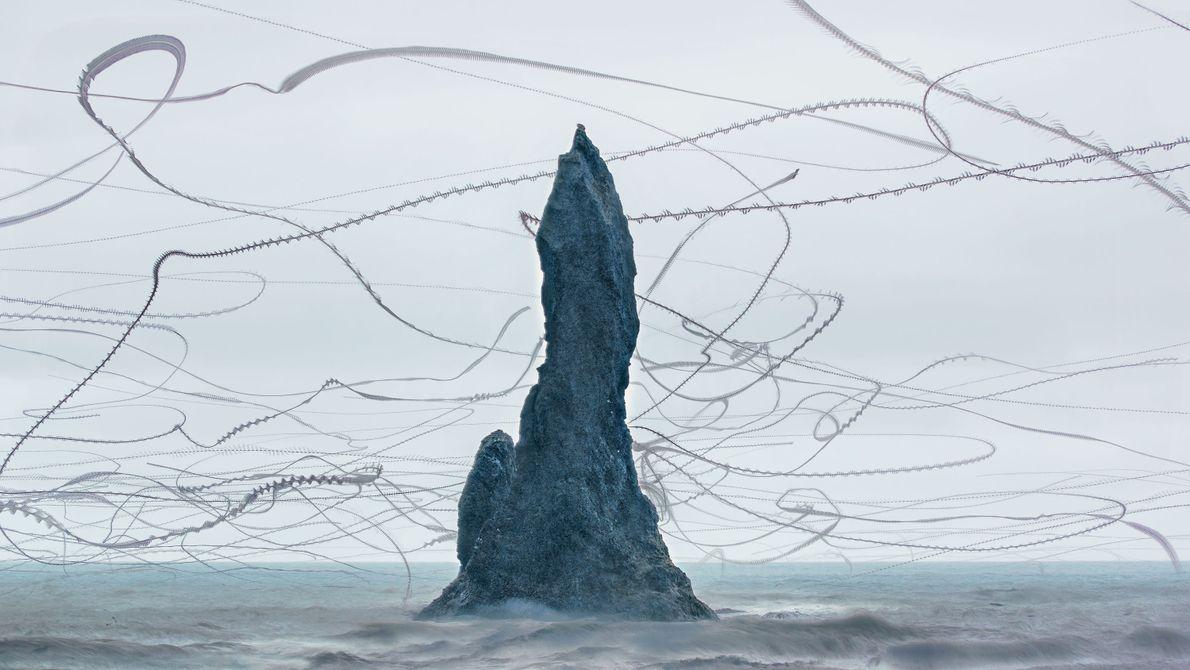 Au printemps, des milliers de fulmars nichent sur les falaises d'Islande, ils font des allées et ...