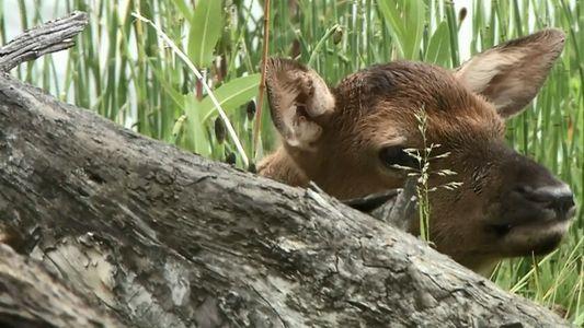 Un élan sauve son petit d'une attaque de loups