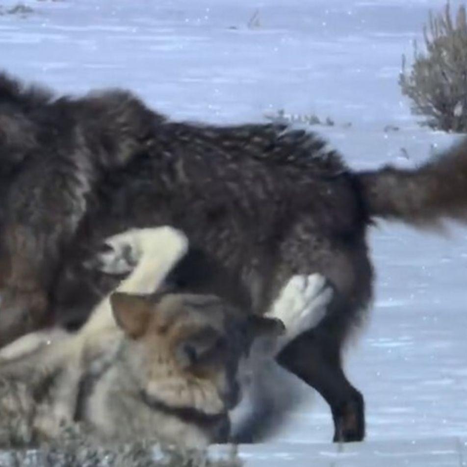 Un loup solitaire s'attire les foudres d'une meute rivale