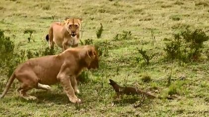 Mangouste vs lions
