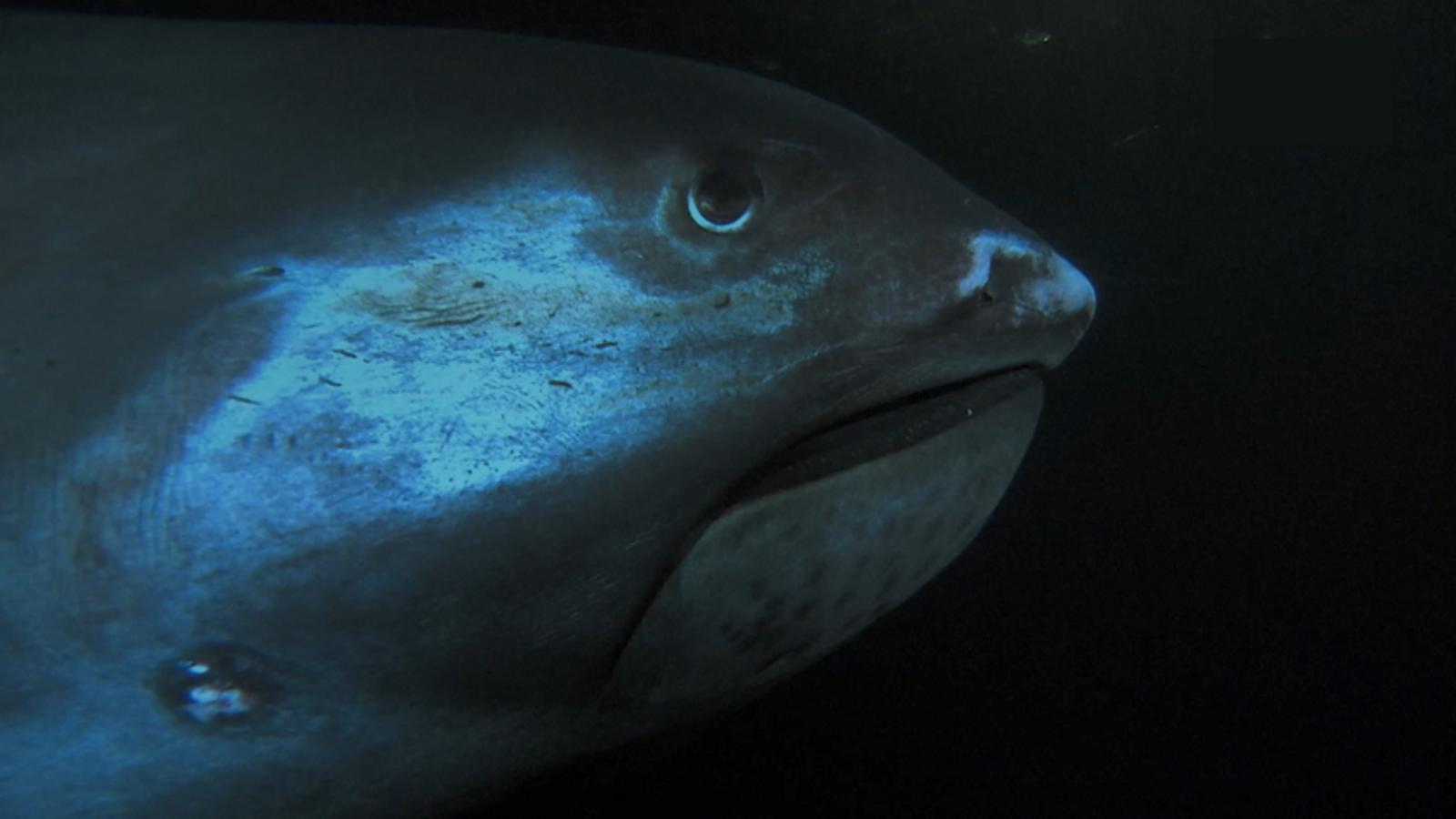 L'apparence du requin grande-gueule peut effrayer. La taille de sa tête bulbeuse affiche des dimensions disproportionnées ; ...