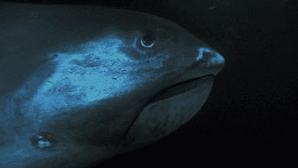Le requin grande-gueule, un monstre venu du fin fond de l'océan