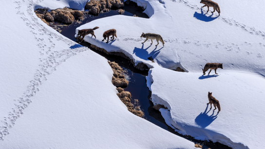 Face au froid de l'hiver, les espèces sauvages sont confrontées à un cruel dilemme : s'adapter ...