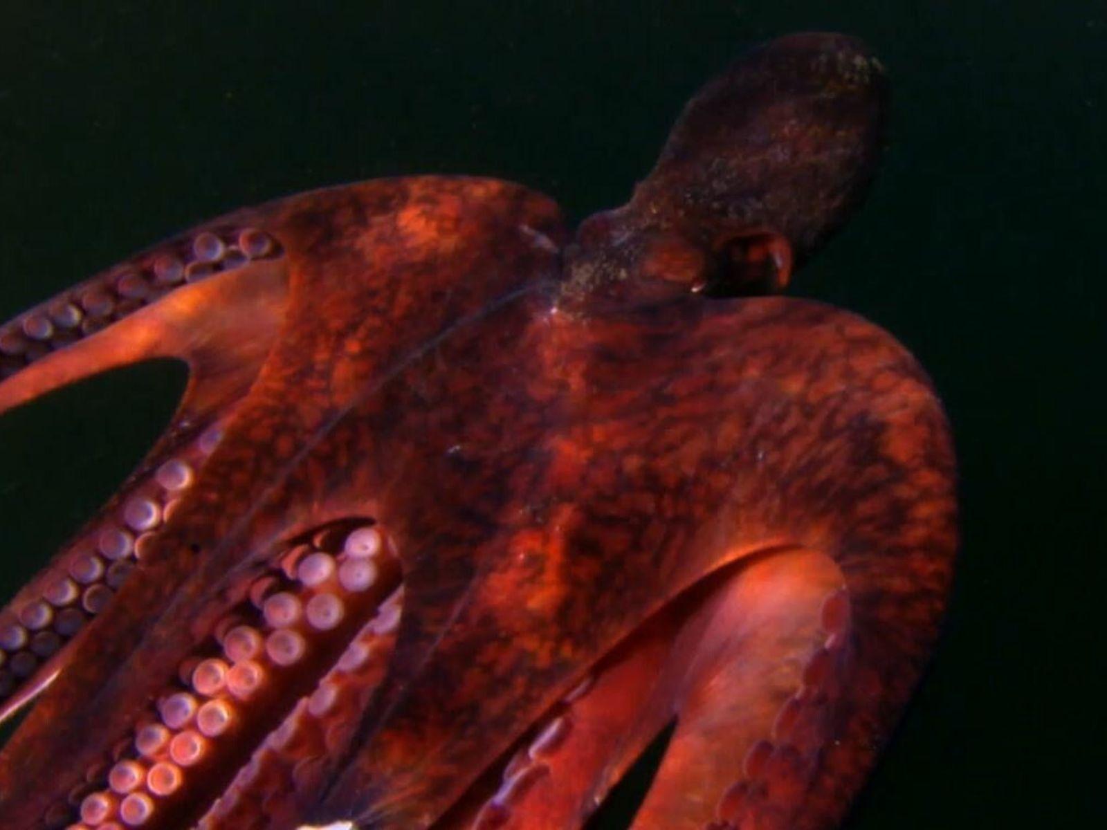 Pieuvre géante du Pacifique.
