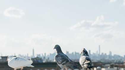 Avitrol : un avicide légal mais controversé après la mort de nombreux oiseaux