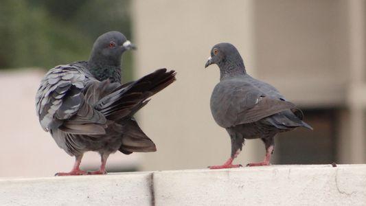 Les oiseaux se sont emparés des villes lors des confinements