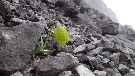 La petite Fritillaria delavayi, très recherchée en médecine traditionnelle, ne produit qu'un bulbe de fleur par an. ...
