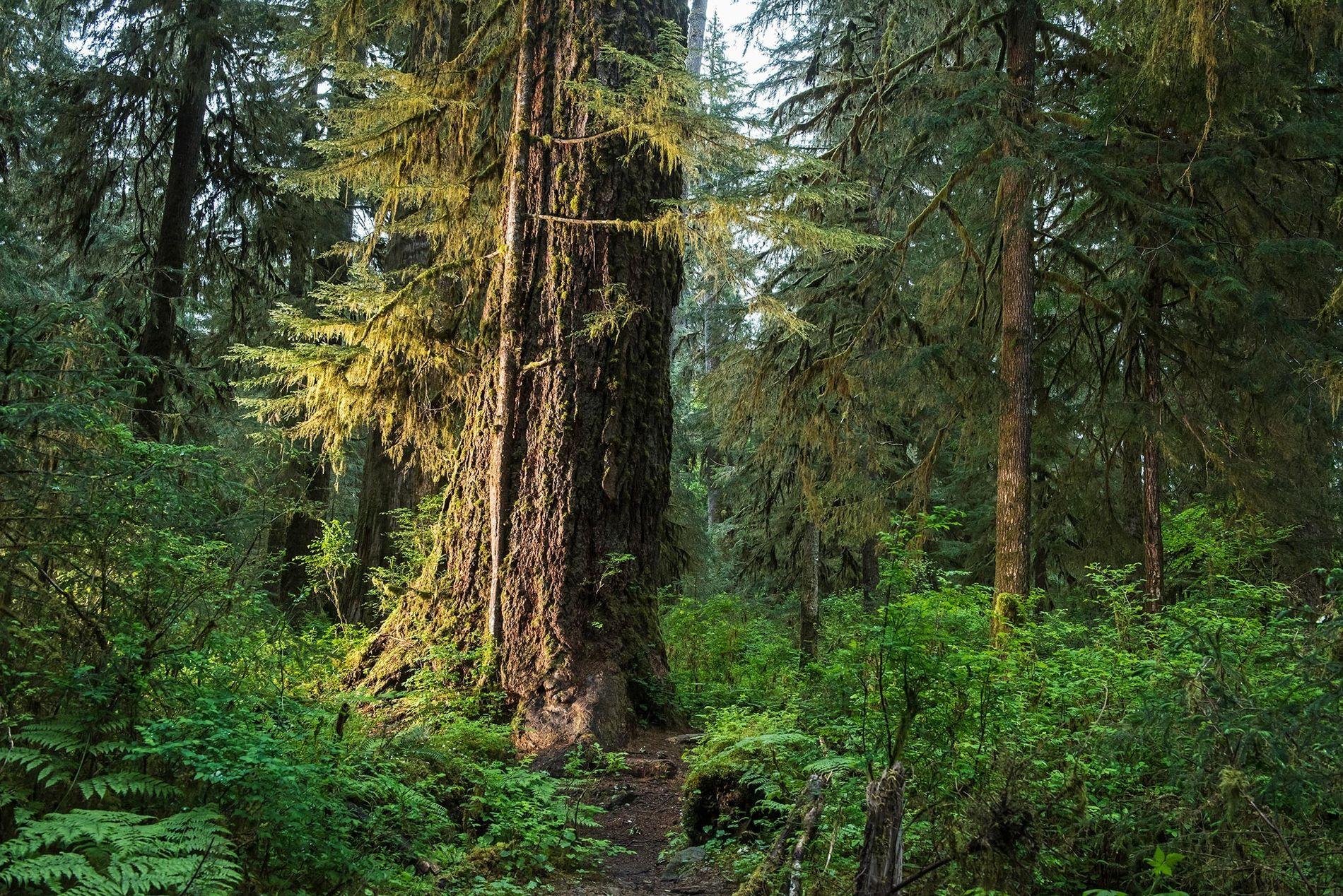 Des forêts comme celle du Hall of Mosses dans le parc national Olympic de l'état de ...