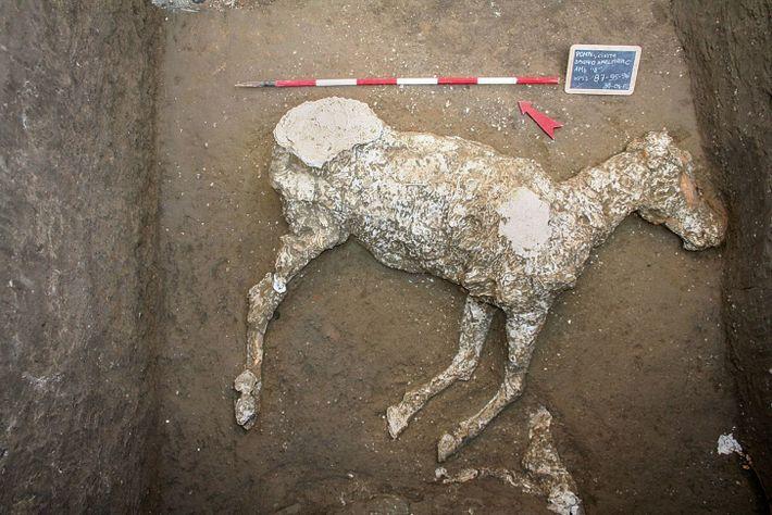 Cette reconstruction en plâtre retrace les dernières heures d'un cheval. Selon les archéologues, il était attaché ...