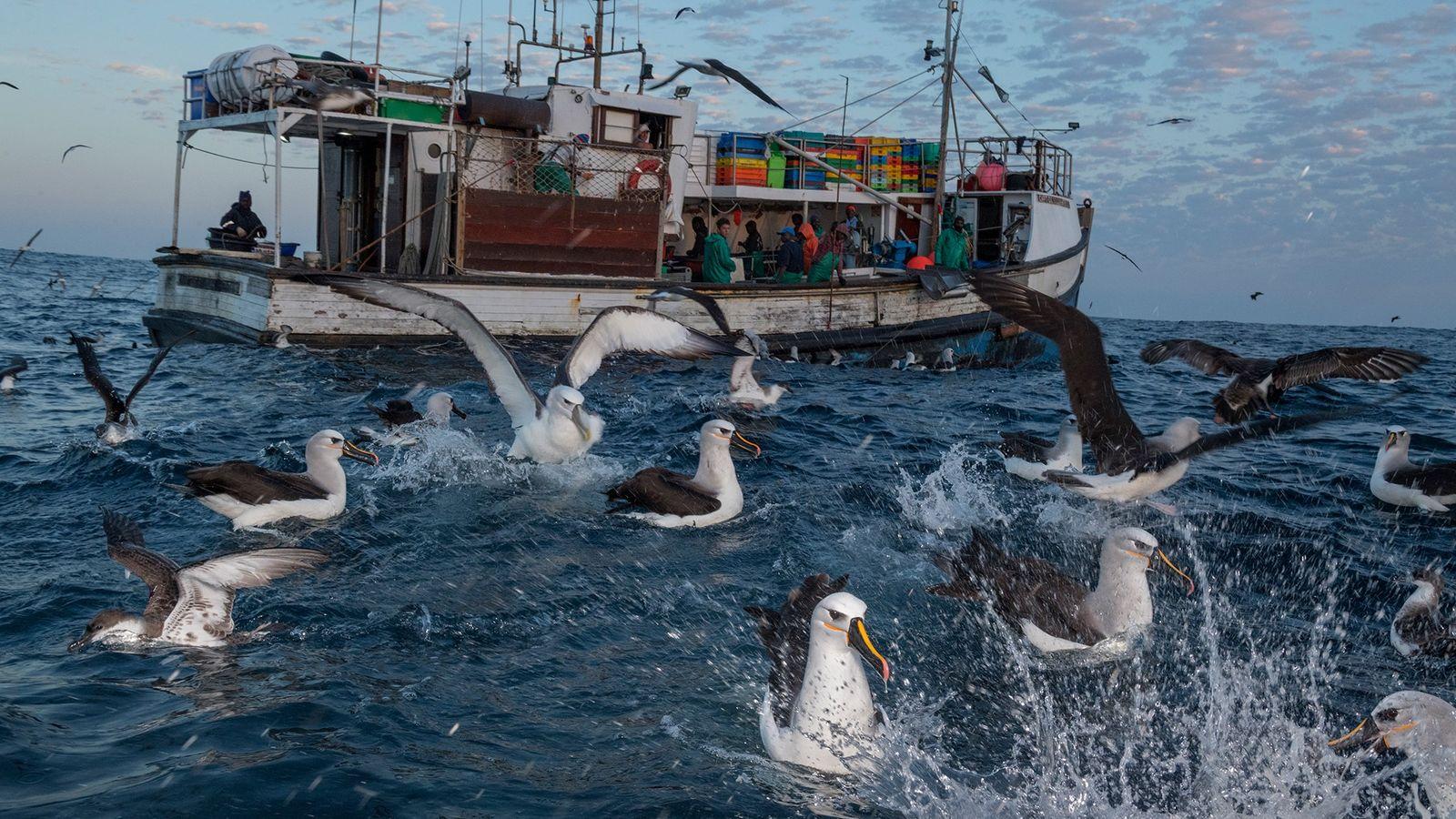 Des albatros et des puffins dégustent les sardines jetées par un bateau de pêche.