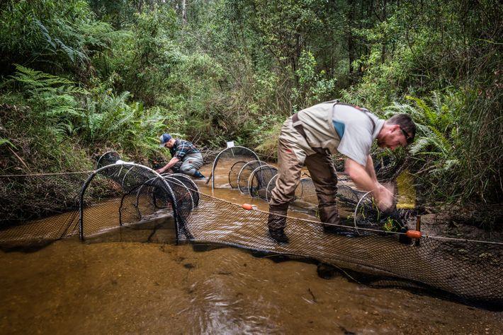 Josh Griffiths et le chercheur Farley Connelly installent des filets pour la capture d'ornithorynques. Une fois la nuit ...
