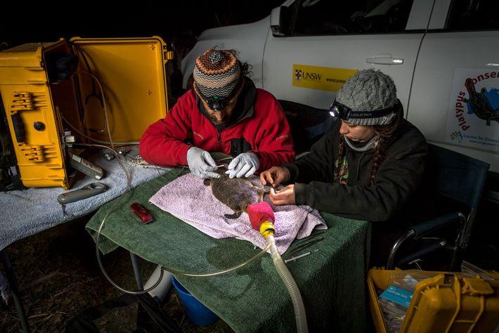 Travaillant tous deux pour la Platypus Conservation Initiative de l'université de Nouvelle-Galles du Sud, Gilad Bino ...