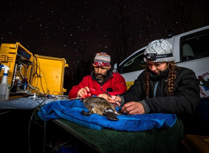Gilad Bino et Tahneal Hawke fixent un transpondeur radio temporaire à la queue d'un ornithorynque femelle. Il leur ...