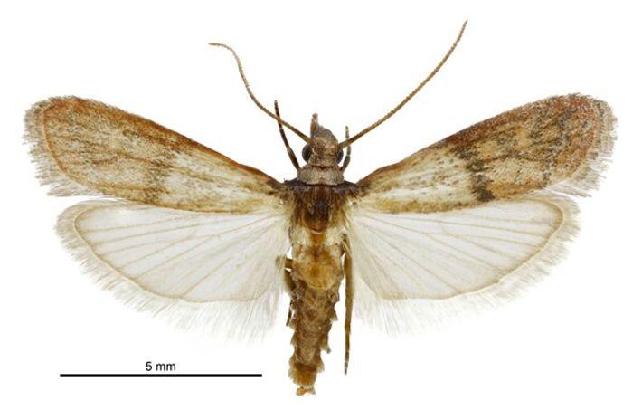Un spécimen mâle Plodia interpunctella photographié par Birgit E. Rhode, Landcare Research New Zealand Ltd.